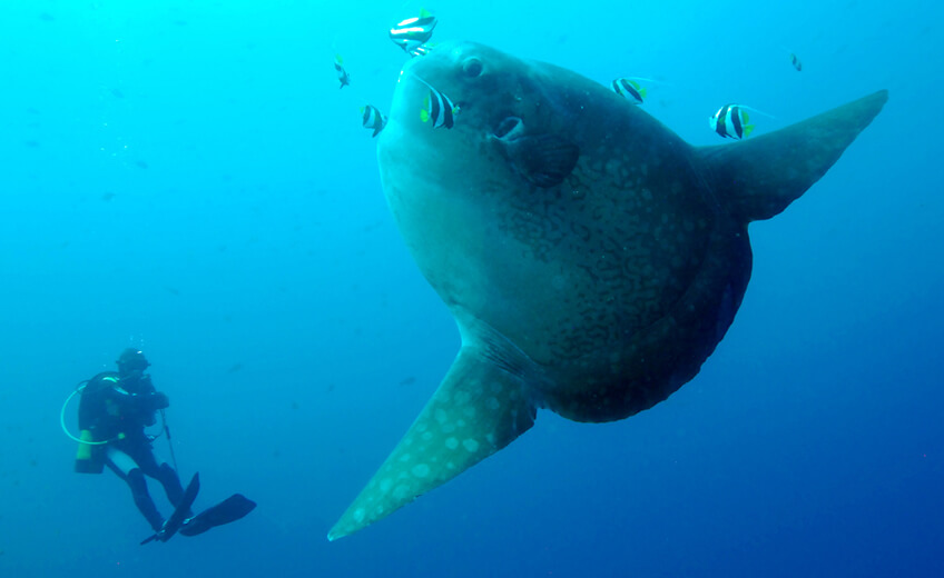 Diving Day Trip at Nusa Penida's Manta and Mola Mola sites (Fun diving & 2 x dives for advanced divers)