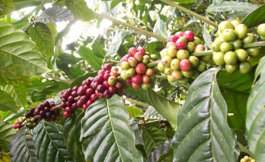 Coffee Tour In The Kintamani Village