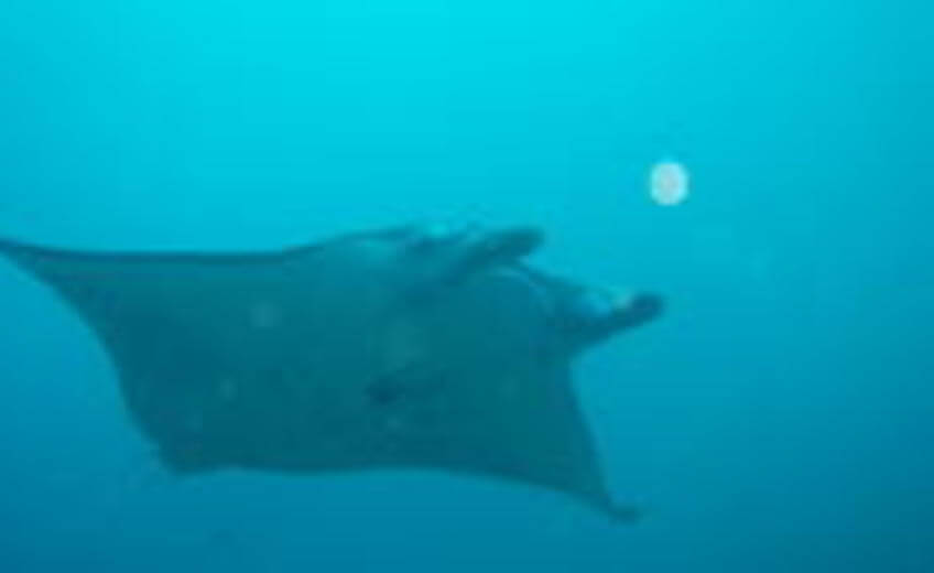 Nusa Penida and Manta Point Day Dive in Bali: Close Encounter With Manta Ray - For Certified Divers Only